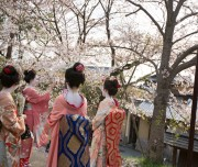 LEPORATI - Girls dressed as maiko or geisha enjoy the cherry blossom flowers, at cherry blossom season, in Gion, Kyoto, Japan.. Image shot 2012. Exact date unknown.
